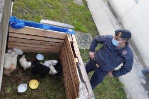 [Portogruarese: sequestrati 13 cuccioli di maltese. Due denunciati]