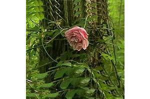 [L�ultima rosa di una specie scomparsa sopravvive nel bosco di Alvisopoli]